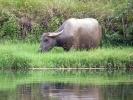 Wasserbüffel am Li-Fluss