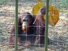 Da sieht man das asiatische Blut im Orang Utan - immer vor der Sonne schützen, man könnte ja braun werden :--)