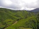 Auf den hügeligen Teeplantagen, müssen die Blätter per Hand gepflückt werden. Auf ebenen Flächen hilft eine Maschine.